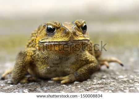 Yellow Toad on a cement floor. (Bufonidae) - stock photo