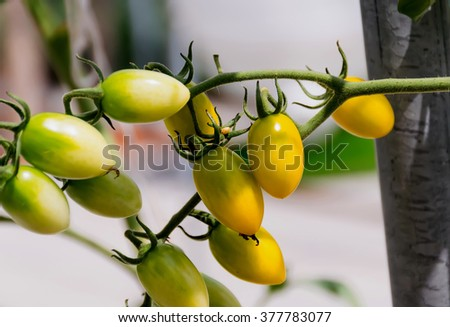 yellow tomatoes fresh from the tree, varieties Hon Island