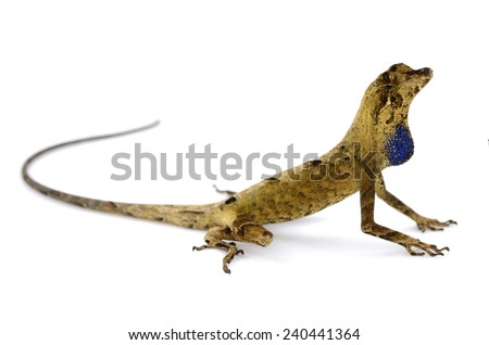 Yellow tongued forest anole (Anolis nitens) - stock photo