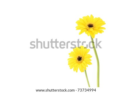 Yellow Transvaal Daisy - stock photo
