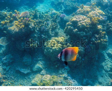 Yellow tropical fish and coral reef. Ocean landscape, coral reef with tropical fishes, reef fishes, coral reef life, sea life, sea animals, summer holiday activity, snorkeling in coral reef, blue sea - stock photo