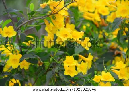 Yellow trumpet bush species flowering shrub stock photo safe to use yellow trumpet bush a species of flowering shrub in the trumpet vine family green mightylinksfo