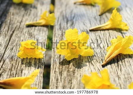 yellow Trumpet Tree. - stock photo