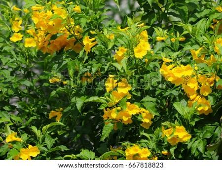 Yellow trumpetbush flowers green leaves background stock photo yellow trumpetbush flowers with green leaves background yellow bells or yellow elder plant tecoma mightylinksfo