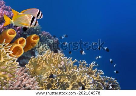 Yellow Tube Sponges. - stock photo