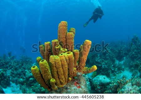 Yellow tube sponges with diver, grand cayman
