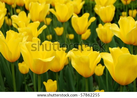Yellow Tulip in Brussels - stock photo