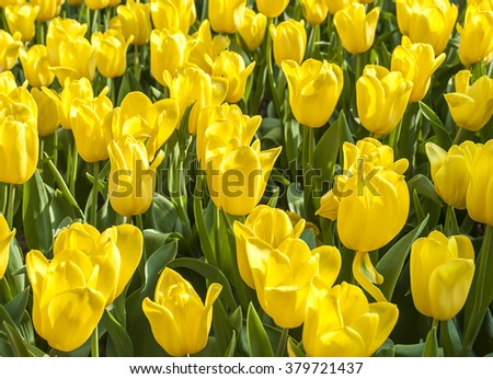 Yellow tulip in garden on sunshine day