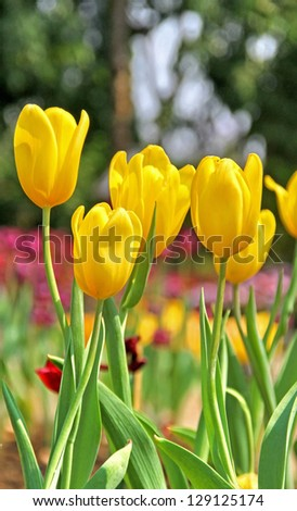Yellow tulip in the flower garden
