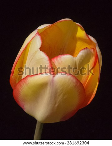 Yellow Tulip with Orange Edges