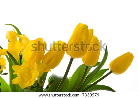 Yellow tulips and daffodils on white
