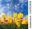 Yellow tulips bloom in the spring sun  - stock photo