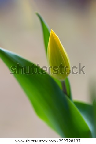 yellow tulips close up
