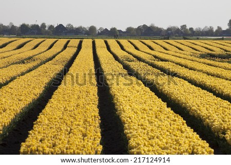 Yellow tulips in a row. - stock photo