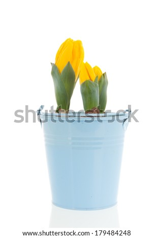 Yellow tulips in blue flower pot in spring isolated over white background
