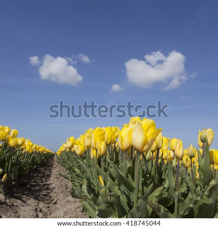 yellow tulips in flower field with blue sky and two clouds in the dutch noordoostpolder from low angle - stock photo
