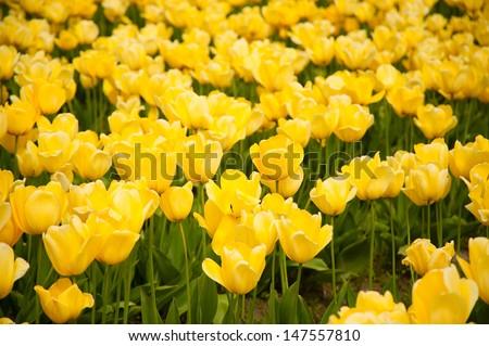 Yellow tulips in Skagit Valley - stock photo
