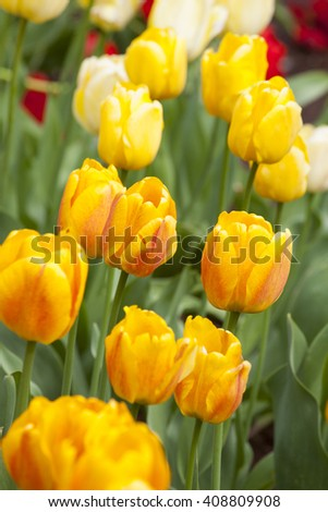 yellow tulips in spring - stock photo