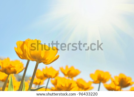 Yellow tulips in the sunny day - stock photo