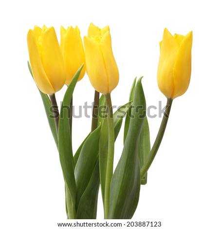 Yellow tulips isolated on a white background