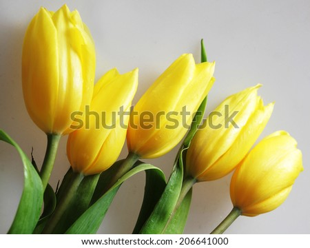 Yellow tulips isolated on grey tablecloth - stock photo