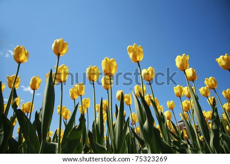 Yellow tulips on a blue sky - stock photo