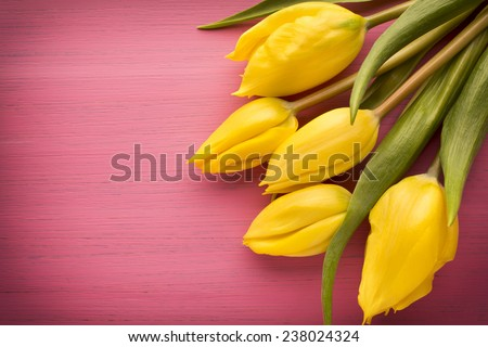 Yellow tulips on a pink surface. Studio photography. - stock photo