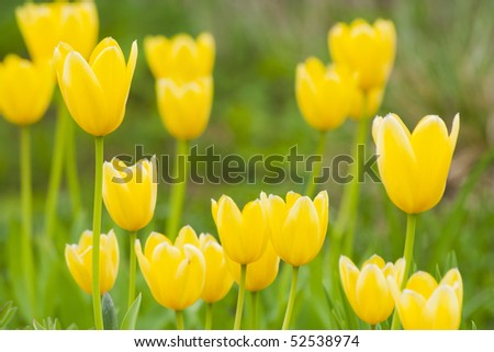 Yellow tulips on the blurred background