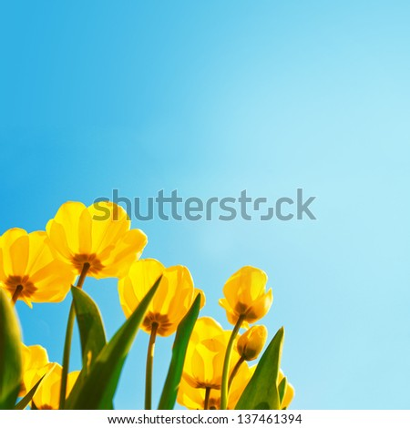 Yellow tulips over a blue sky background. Spring season background. - stock photo