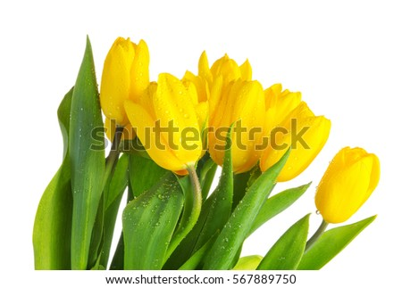 Yellow tulips with green leaves on white background. Spring flowers closeup. Tulips with water drops isolated on white background. Dew on yellow tulips.