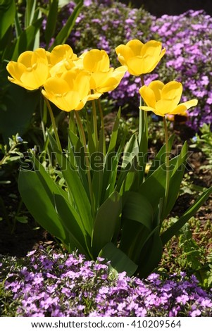 Yellow tulips with purple flowers