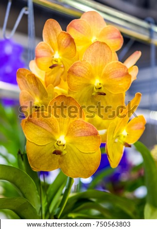 Yellow Vanda Orchid In The Garden. Orchids Flower Is A Beautiful Flower In  The World