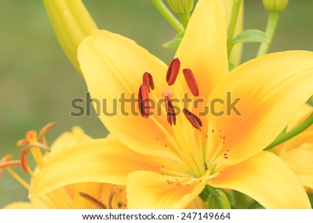Yellow vivid lily flower a macro shot - stock photo
