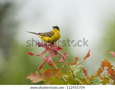 Yellow Wagtail on tree branch