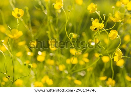 yellow wallpaper with buttercups in green meadow with sunshine, shallow dof - stock photo