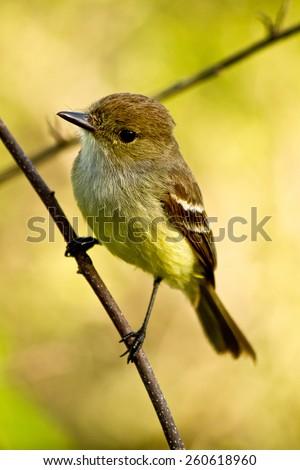 Yellow warbler bird in the Galapagos Islands, Ecuador - stock photo