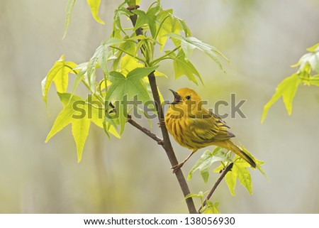 Yellow Warbler (Dendroica petechia aestiva), male in breeding plumage, singing from perch. - stock photo