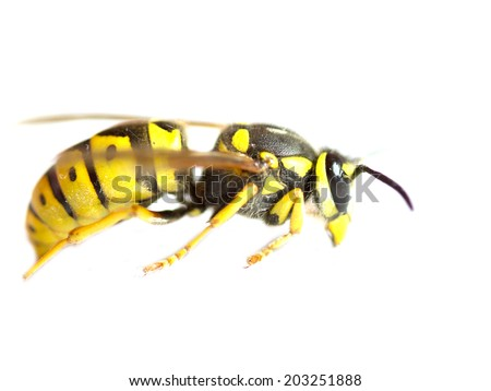 Yellow wasp on a white background close-up - stock photo