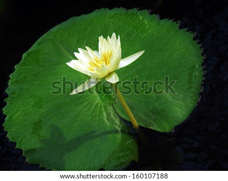 Yellow water lily and lily pad - stock photo