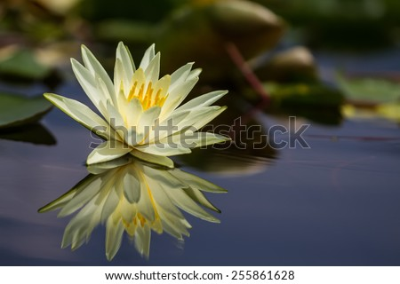 Yellow water lily with green leaves - stock photo