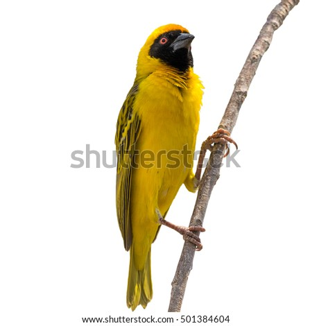 Yellow Weaver bird on tree isolated on white background