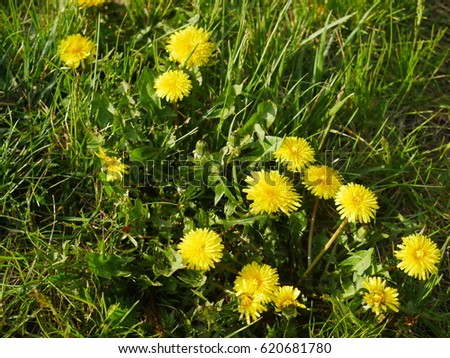 Yellow weed flowers on lawn stock photo royalty free 620681780 yellow weed flowers on lawn mightylinksfo