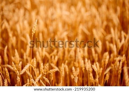 Yellow wheat ears field background. Rich harvest wheat field, fresh crop of wheat ears. - stock photo