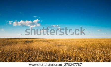 Yellow Wheat Ears Field On Blue Sunny Sky Background. Rich Harvest Wheat Field, Fresh Crop Of Wheat.