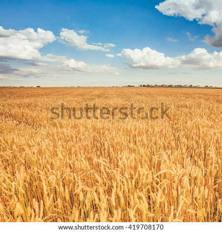Yellow Wheat Ears Field On Under Blue Sky Background. Rich Harvest Wheat Field. Harvest Time. - stock photo