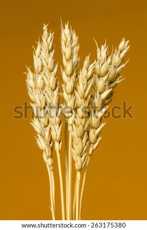 yellow wheat ears isolated on orange background - stock photo