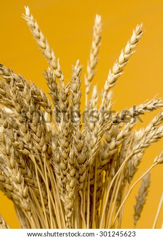 yellow wheat ears isolated on orange background
