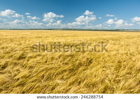 yellow wheat field and blue sky summer landscape - stock photo