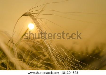 Yellow wheat field background - stock photo