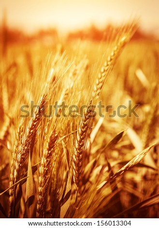 Yellow wheat field background, warn sunset light, soft focus, autumnal nature, bread production, farmland, dry rye stems, harvesting concept   - stock photo